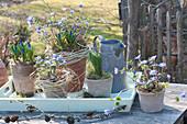 Anemone blanda (Arctic violet), Muscari (grape hyacinth)