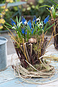Basket of twigs planted with muscari and galanthus