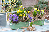 Old drawers with spring planting-Narcissus 'Tete a Tete'