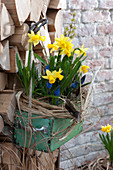Old drawer planted with Narcissus 'Tete A Tete'