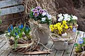 Early Spring Table Arrangement, Crocus chrysanthus 'Blue Pearl'