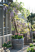 Wisteria sinensis in wooden barrel on gravel terrace, Tulipa
