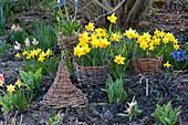 Narcissus 'Jetfire' (Narcissus) in wicker mini fence