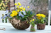 Blue-yellow planted wicker basket, Primula, Muscari armeniacum