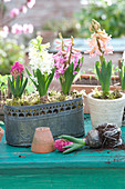 Hyacinthus orientalis, in pot and metal jardiniere