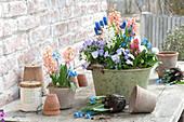 Hyacinthus, Viola cornuta 'Lavender Blush'