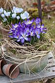 Crocus tommasinianus 'Whitewell Purple' (Elven crocus)
