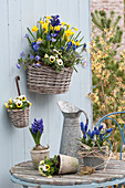Wall Baskets with Narcissus 'Tete A Tete' (Daffodil), Hyacinthus