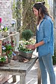 Woman plants basket with Primula (primula), Thymus vulgaris