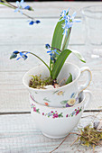 Scilla (blue oysters) without soil in flower cups