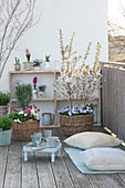 Spring balcony with Prunus incisa 'Kojou-No-Mai', March cherry
