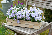 Viola cornuta Rocky 'Lavender Blush' (horn violet) in chip basket