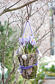 Crocus vernus 'Striped Beauty' in wire basket with moss