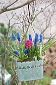 Muscari Aucheri (Grape Hyacinth) and Hyacinthus 'Jan Bos'