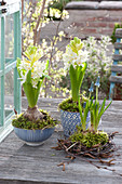 Hyacinthus 'White Pearl' (Hyacinths) in blue-white ceramic