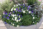 Viola cornuta, Thymus vulgaris, Origanum