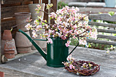 Fragrant Viburnum bodnantense 'Dawn' branches bouquet
