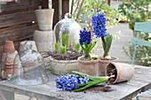 Hyacinthus 'Blue Jacket', 'Delft Blue' (Hyacinth) in terracotta