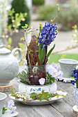 Hyacinthus 'Delft Blue', without soil in glass with twigs and bark