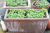 Seedlings of Ocimum basilicum (basil) in terracotta box