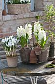 Hyacinthus 'White Pearl', and Crocus vernus 'Jeanne d'Arc'