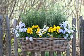 Basket box planted with viola cornuta, and rosmarinus