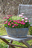 Old zinc sink planted with Bellis, and Androsace