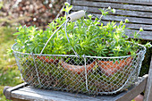 Wire basket with Galium odoratum (woodruff) in clay pots