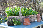 Galium odoratum (woodruff) in wicker basket