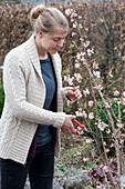 Woman cutting Viburnum bodnantense 'Dawn' branches