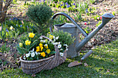 Tulipa 'Calimero' ( gefüllte Tulpen ), Viola wittrockiana ( Stiefmütterchen