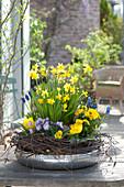 Narcissus 'Tete A Tete', Tulipa 'Calimero', Viola