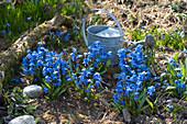 Scilla siberica ( Blausternchen ) im Garten