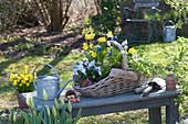 Narcissus 'Tete a Tete', Viola cornuta 'Lavender Blush'