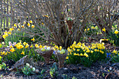 Easter in the garden with Narcissus 'Jetfire', 'Tete A Tete'