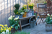 Spring terrace with Narcissus 'Tete a Tete', Tulipa 'Purissima'