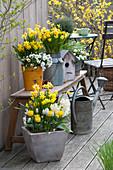 Frühlingsterrasse mit Narcissus 'Tete a Tete' ( Narzissen ), Tulipa 'Calimero'