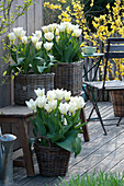 Tulipa 'Purissima' (white tulips) in baskets