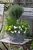 Thymus vulgaris (thyme), Allium schoenoprasum (chives)