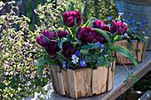 Tulipa 'Black Hero' (tulip) and Anemone blanda
