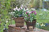 Tulipa 'Shirley', 'Purple Prince' (Tulip), Anemone blanda