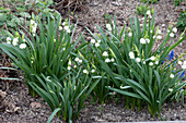 Leucojum vernum (March Cup, Spring Knot Flower) in the bed