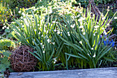 Leucojum vernum (March Cup, Spring Knot Flower), Muscari