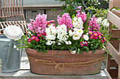 Hyacinthus 'White Pearl', 'Pink Pearl', Bellis