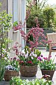 Malus 'Liset', Tulipa 'Shirley', 'Purple Prince', 'Claudia'