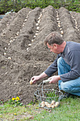 Man planting solanum tuberosum (potatoes) in troughs