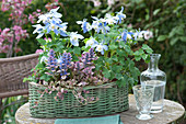 Basket with Aquilegia flabellata and Ajuga reptanss