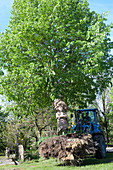 Remove Tilia (lime tree) along with roots