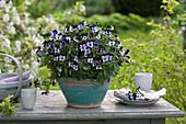 Viola cornuta Penny 'Mickey' in hand-made pottery
