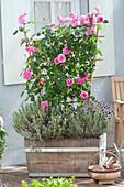 Pink 'Gertrude Jekyll' (English fragrance rose) on the trellis